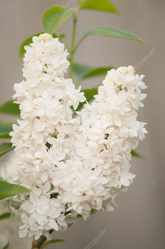 Lilac (Syringa vulgaris 'Angel White') in flower
