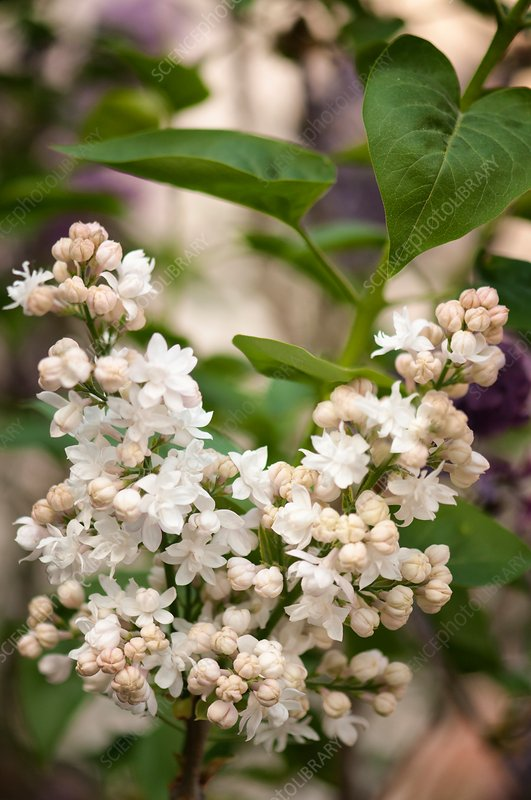 Lilac (Syringa vulgaris 'Beauty of Moscow') in flower