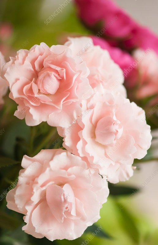 Florists soft pink spray rose (Rosa 'Majolica') flowers