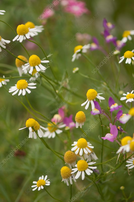 English chamomile (Chamaemelum nobile) in flower