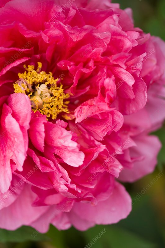Tree peony (Paeonia suffruticosa) flower