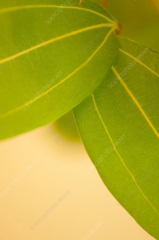 Cinnamon tree (Cinnamomum zeylanicum) leaves