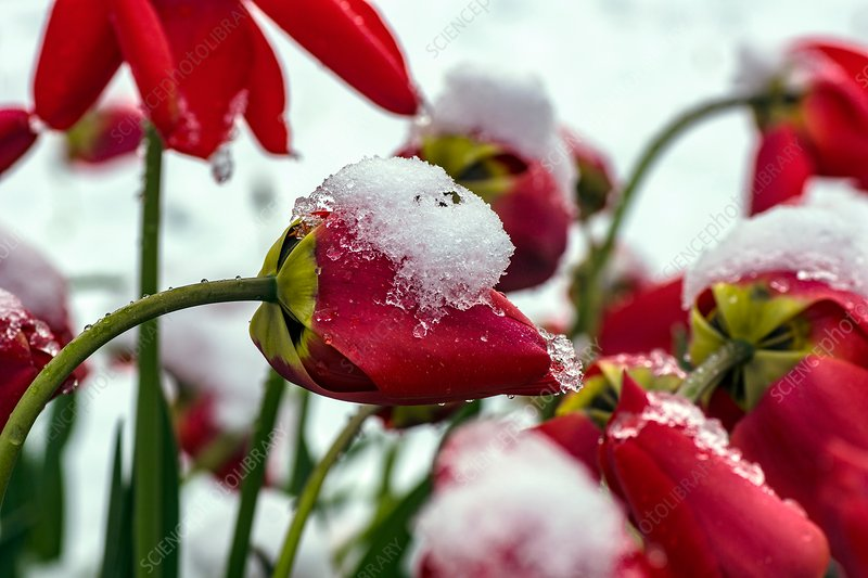 Snow on red tulips