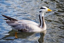 Bar headed goose