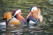 Male mandarin ducks