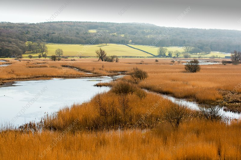 Reedbeds, Leighton Moss, UK