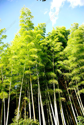 Forest of giant bamboo in Japan