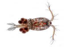 Copepod with eggs, light micrograph