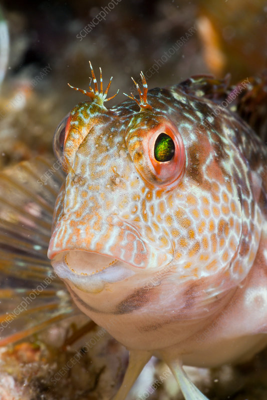 Variable Blenny