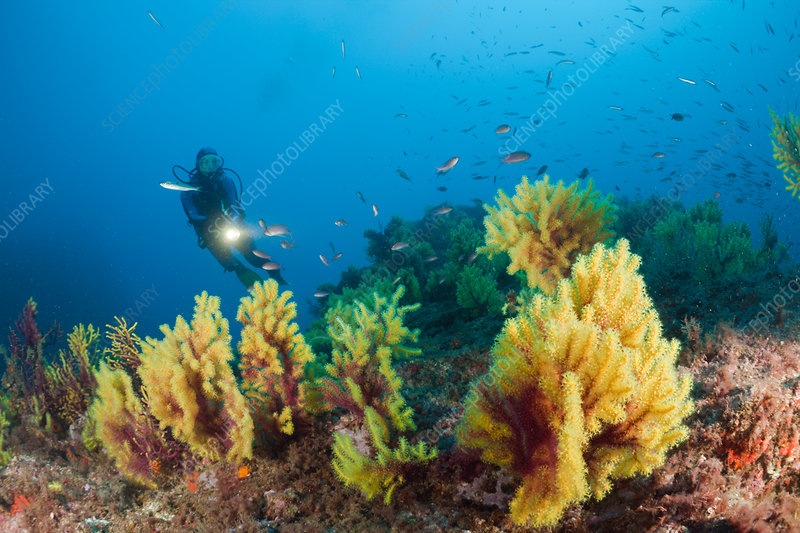 Scuba Diver and Variable Gorgonians