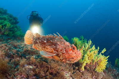 Great Rockfish and Scuba Diver