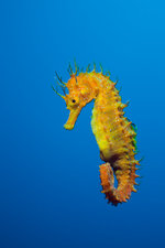 Longsnouted Seahorse