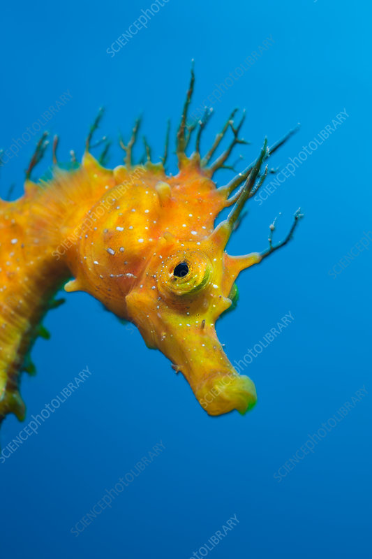 Yellow Longsnouted Seahorse