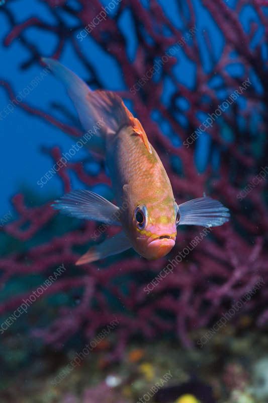Mediterranean Anthias