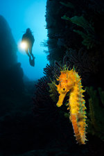 Scuba diving with Seahorses at Medes Islands