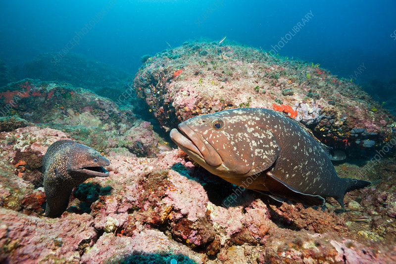 Mediterranean Moray and Dusky Grouper
