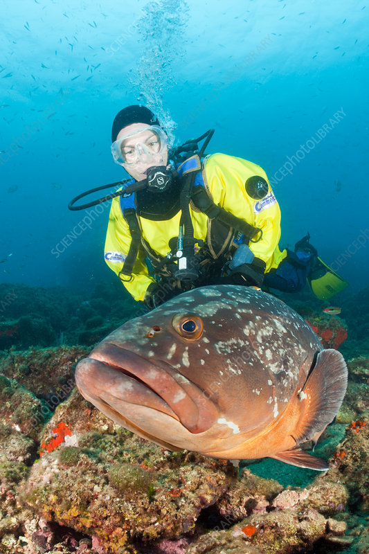Scuba Diver and Dusky Grouper