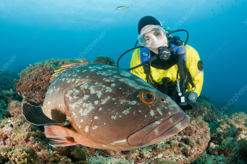 Dusky Grouper and Scuba Diver