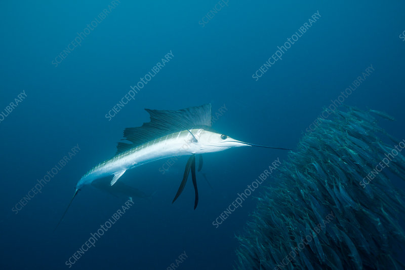 Sailfish hunts Sardines