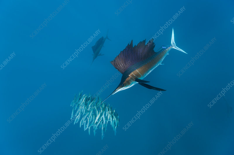 Sailfish hunting Sardines