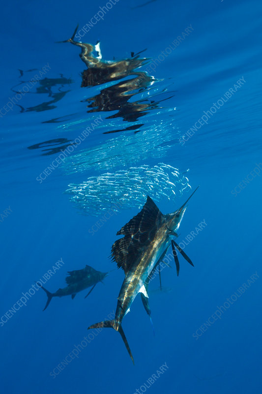 Atlantic Sailfish