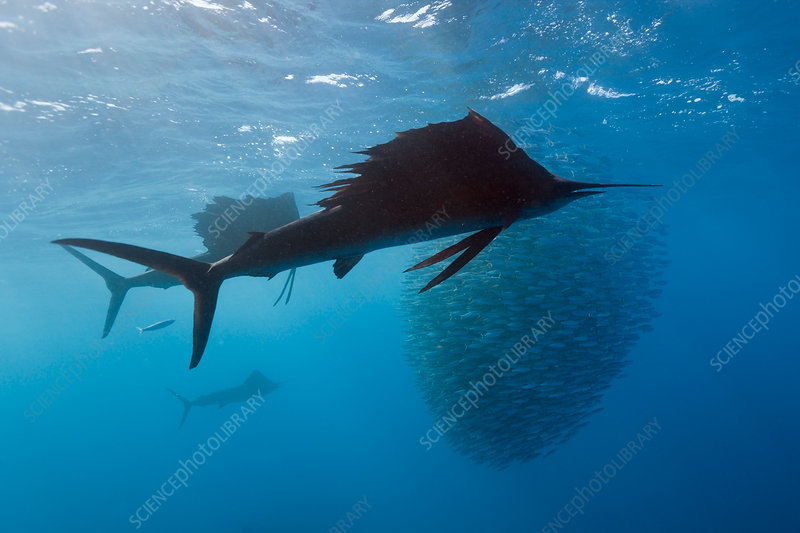 Atlantic Sailfish hunting Sardines