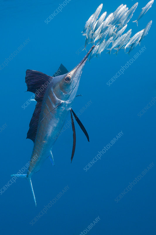 Atlantic Sailfish hunts Sardines