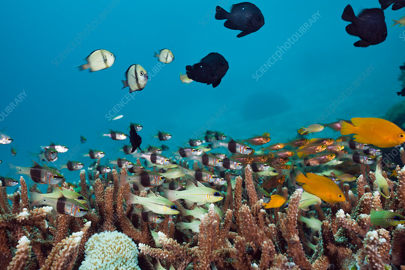 Coral Fishes over Reef