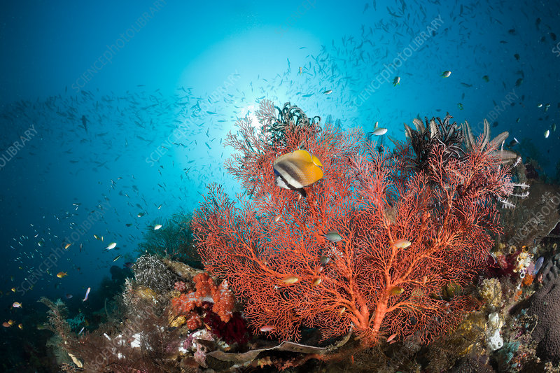 Butterflyfish in Coral Reef