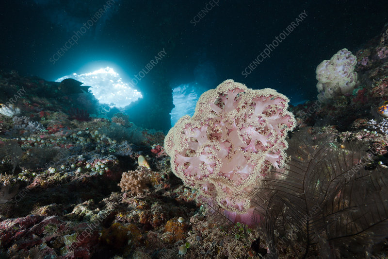 Soft Coral in Grotto