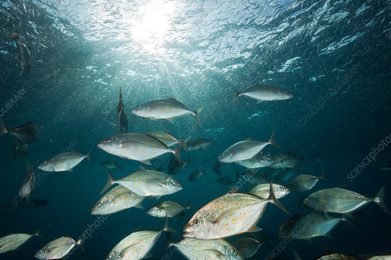 Orangespotted Trevally hunting Silversides