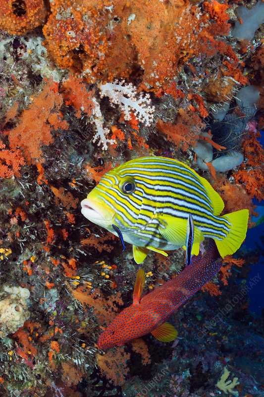 Yellow-ribbon Sweetlips and Cleaner Wrasse