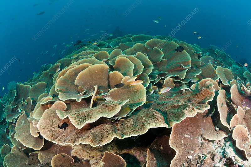 Lettuce Coral Reef