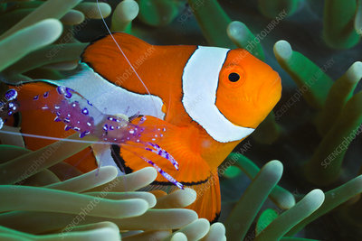 Anemone Shrimp and Clown Anemonefish