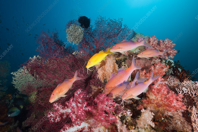 Goldspotted Goatfish on Coral Reef