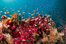 Twinspot Cardinalfish in Soft Corals