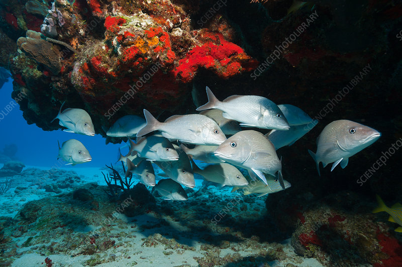 Shoal of Grey Snapper