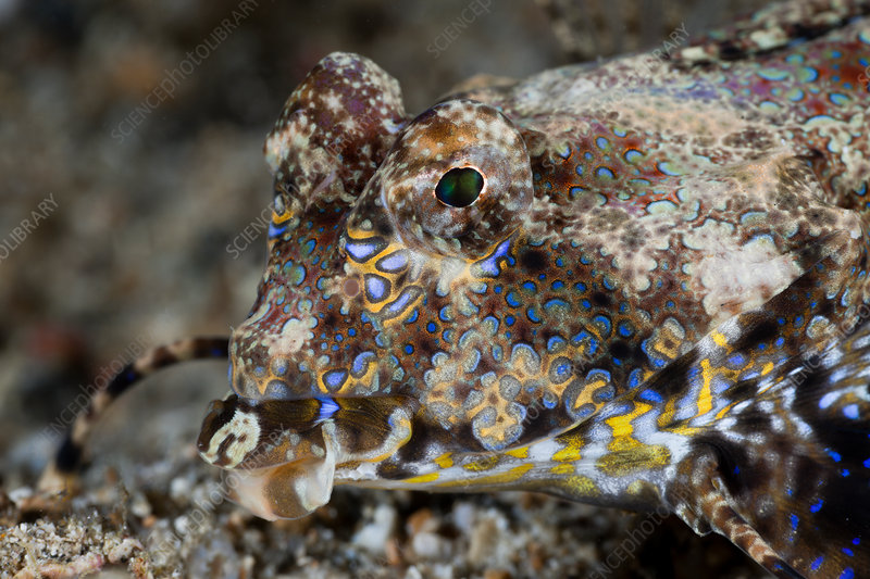 Fingered Dragonet