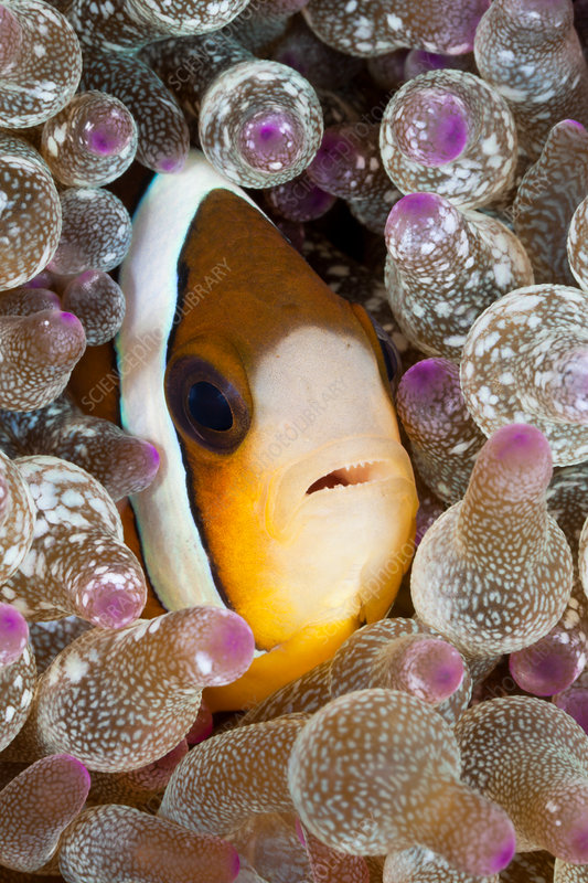 Clarks Anemonefish in Bubble Anemone