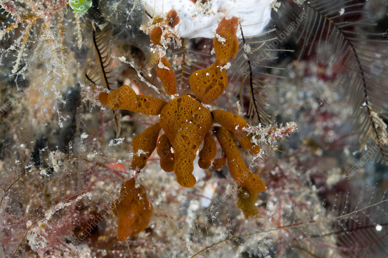 Spidercrab camouflaged with Sponges