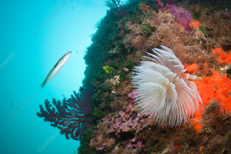 Spiral Tube Worm in Coral Reef