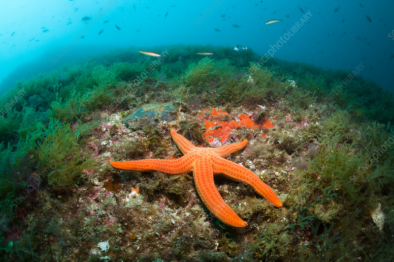 Red Starfish in Coral Reef