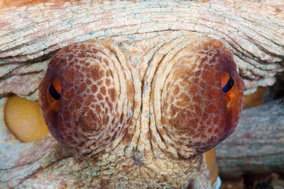 Eyes of Common Octopus