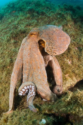 Common Octopus over Reef