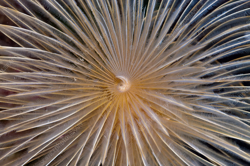 Tentacle of Spiral Tube Worm