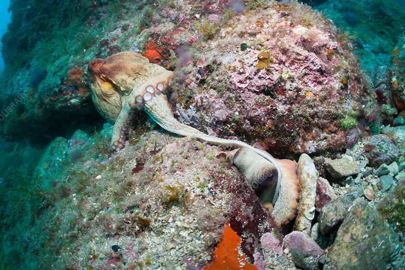 Mating of Common Octopus