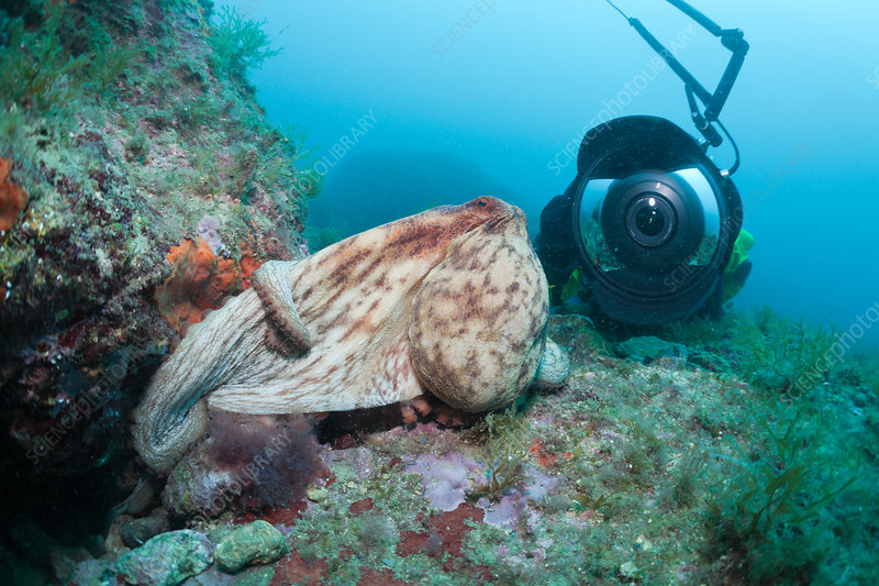 Common Octopus and Underwaterphotographer