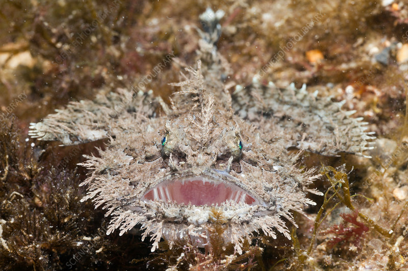 Short-spined Anglerfish