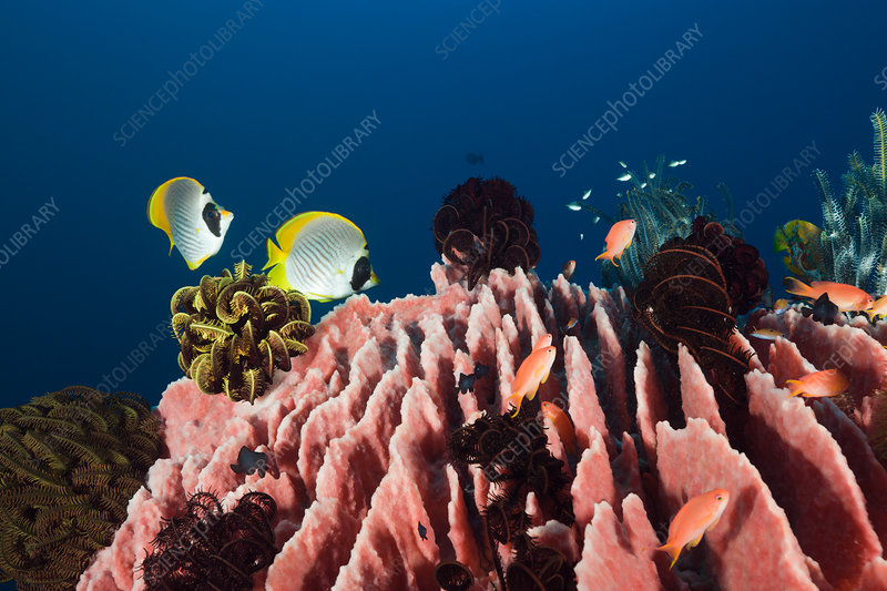 Panda Butterflyfishes over Barrel Sponge