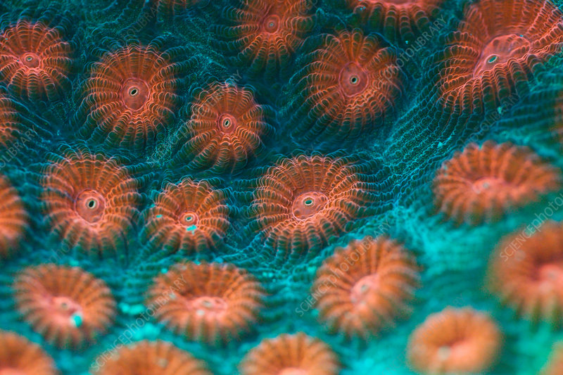 Fluorescent Hard Coral